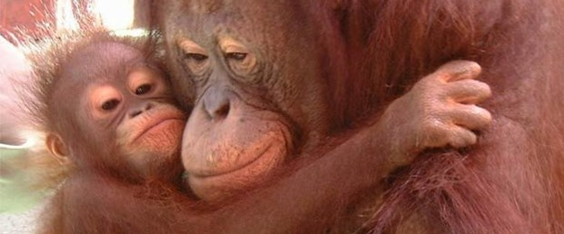 Anne maymun saçla diş temizlemeyi öğretiyor