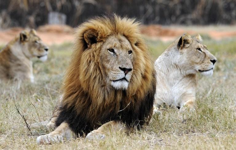 22 yaşındaki kadın dişi aslan kurbanı
