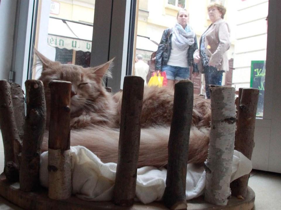 Avrupa'da bir ilk: Kedi kafe