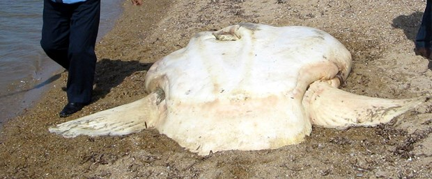 Ay balığı karaya vurdu