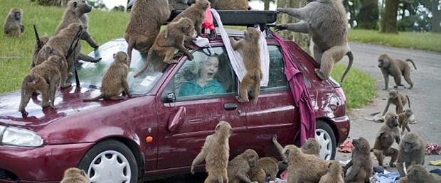 Babunlar arabaları yağmalıyor