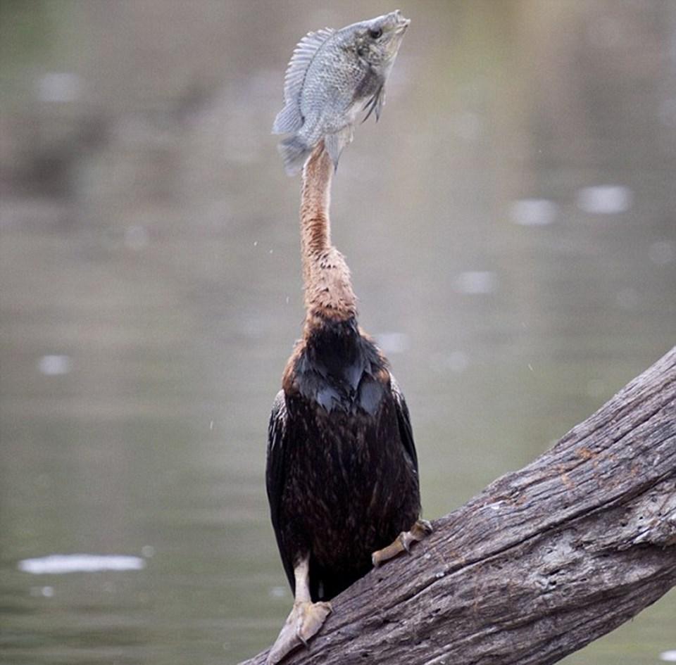 Kuş kocaman balıkla mücadele ederek onu boğazına sokmaya çalıştı