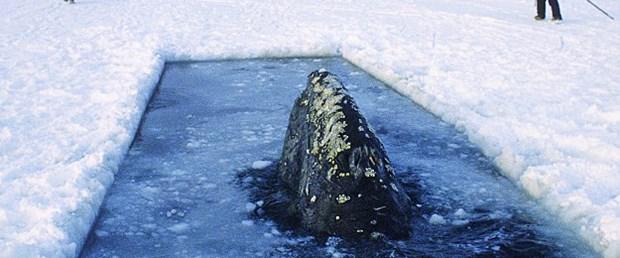 Balinaları buzdan mezardan kurtardılar