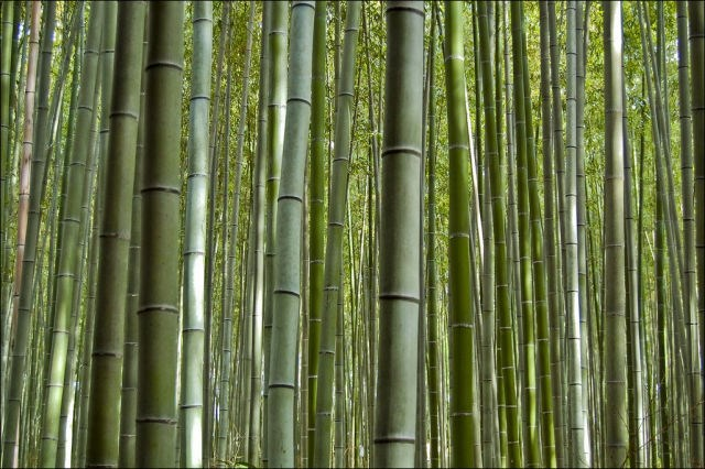 Bambu korusu büyülüyor