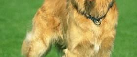Bazı köpeklerin niye bukleleri var?