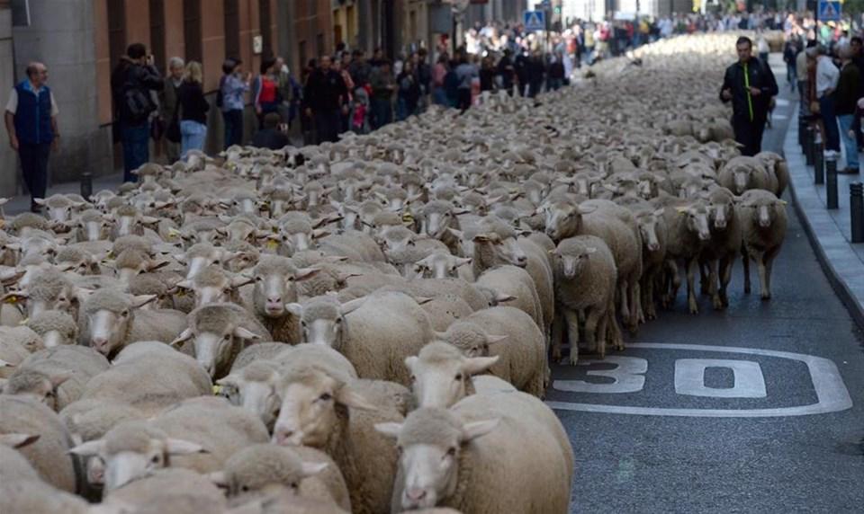 Binlerce koyun şehre indi