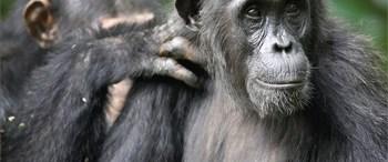 Dişi şempanzeler çiftleşmek için et alıyor