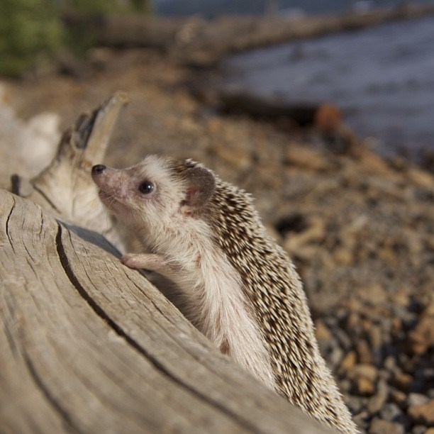 Dünyanın en gezgin kirpisi