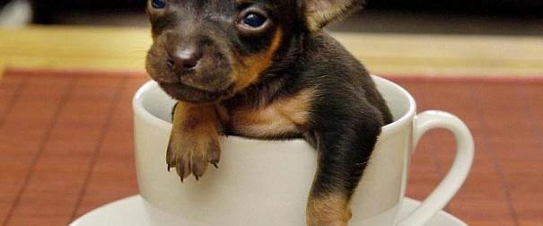 Dünyanın en küçük köpeği sadece 15 gram