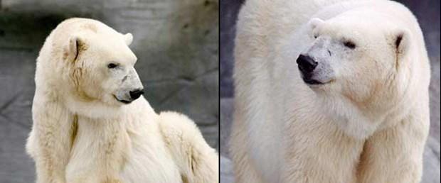 Dünyanın en yaşlı kutup ayısı öldü