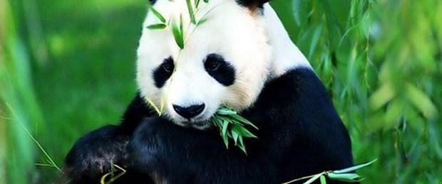 En iyi çay panda gübresiyle yetiştiriliyor