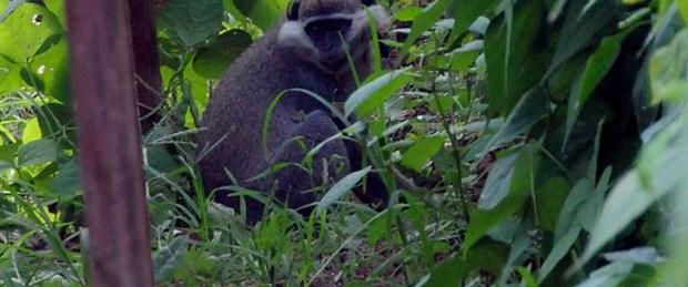 Firari maymun 15 gün sonra yakalandı