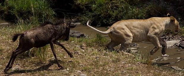 Gerçek hayattaki ödlek aslan