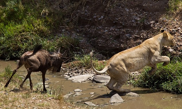 Altı aylık antilop aslan tarafından yaralanmış olmasına rağmen kendini toparlandı ve yırtıcı hayvanı korkutup kaçırmasını bildi.
