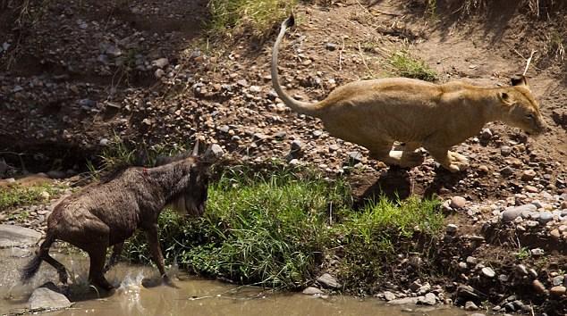 Antilobun hayrete düşürücü cesaretiyle gafil avladığı ödlek aslan utanç içinde koşarak uzaklaştı