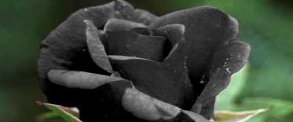 siyahgul