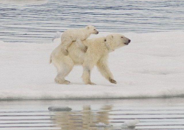 جفتري خرس قطبي نگاه خيره خرس هاي قطبي   تصاوير