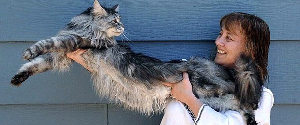 İşte dünyanın en uzun kedisi