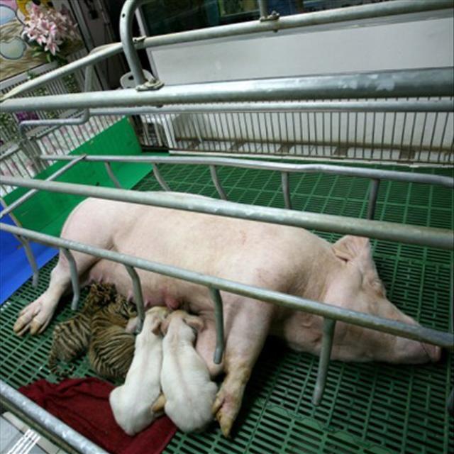 Kaplan ve domuz kucak kucağa