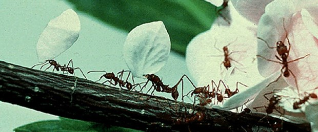 Karıncalardan trafik dersi