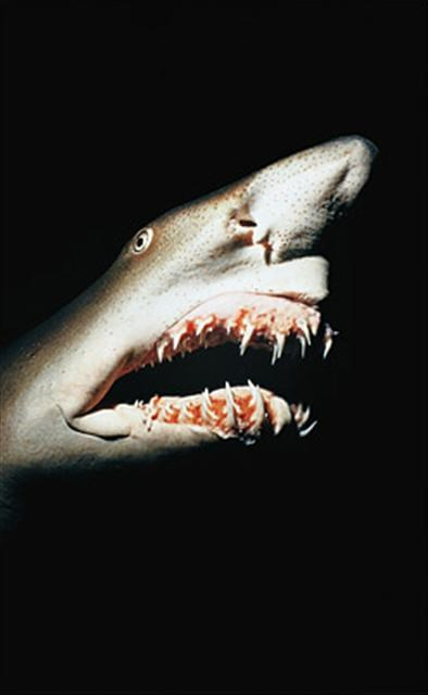 Köpekbalığına yakın bakış