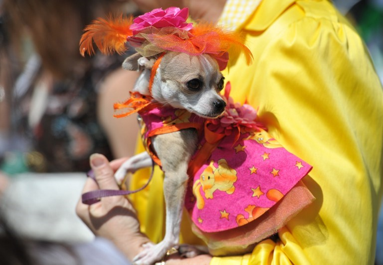 Koş 'Chihuahua' koş!