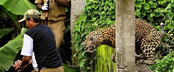 Köy ortasında leopar avı