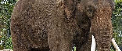 Kraliyet düğünü fillere yarayacak