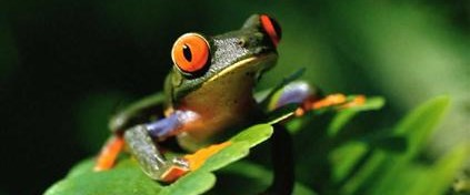 Kurbağalar trafik gürültüsünden çiftleşemiyor