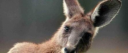 Ninja sandı, kanguru çıktı