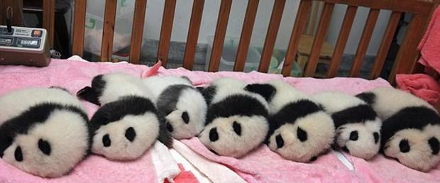 Pandalar için uyku vakti