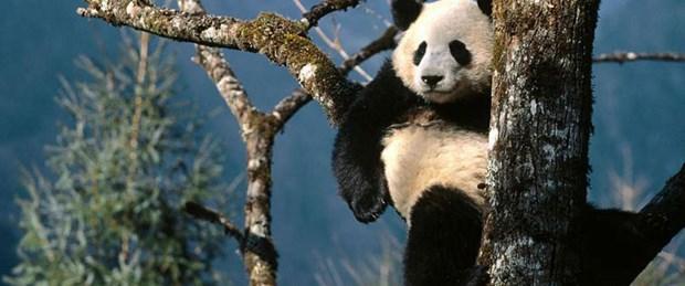 Pandaların üremesine Viagra'lı destek