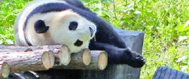Pandayı bunalıma soktular