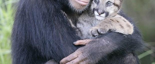 Şempanze, yavru pumaya annelik yapıyor
