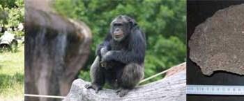 Şempanzeler de gelecek planı yapıyor