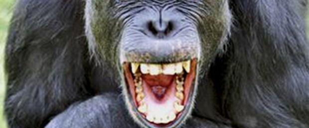 Şempanzeler kötü esprilere de gülebiliyor!