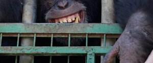 Sigara içen şempanze kurtarıldı!