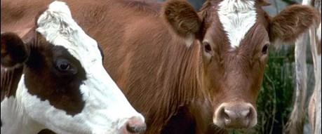 Sığırlar insana benziyor
