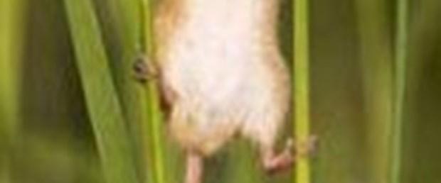 Tarla farelerinin gizli hayatı!
