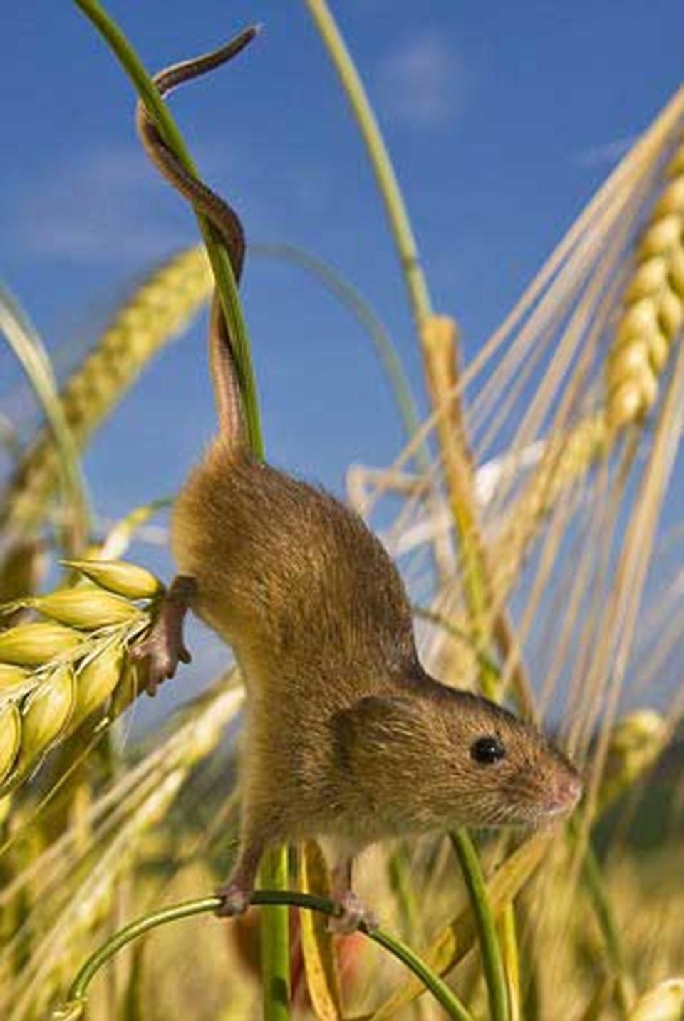 Kürklü dostumuz buğday sapından aşağı sarkarak çevikliğini sergiliyor.
