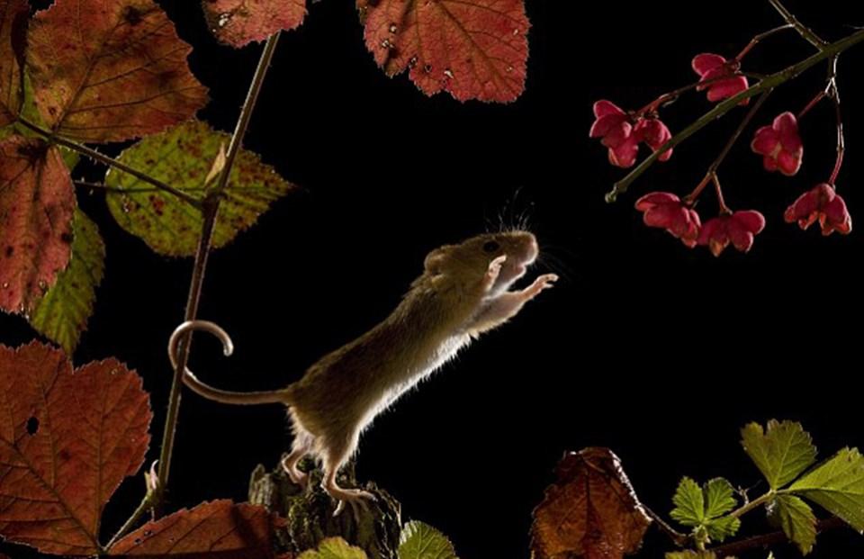 Nazik operasyon: Bir tarla faresi araştırırken denge sağlamak için kuyruğunu bir bitkinin sapına doluyor.