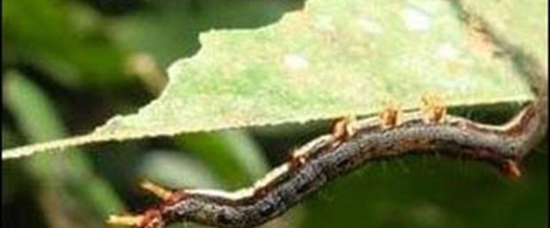 Tırtıl, kraliçe karınca taklidiyle korunuyor