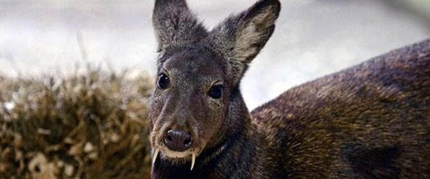 'Vampir geyik' 66 yıl sonra ortaya çıktı