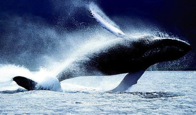 Grönland balinaları iki farklı ses tonunu miksleyerek dişileri cezbederken, her yıl farklı aşk şarkısı seslendiriyor...