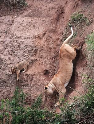 Anne yavrusunu kurtarmak için sarp arazide aşağı iniyor
