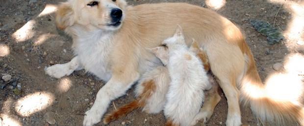 Yavru kedi; anne köpek
