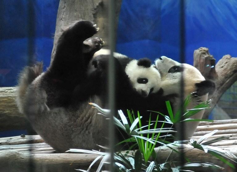 Yavru panda ilgi odağı