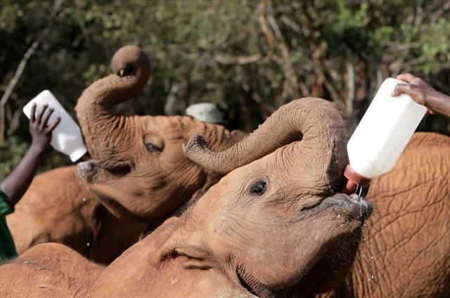 Yetim fillerin süt saati