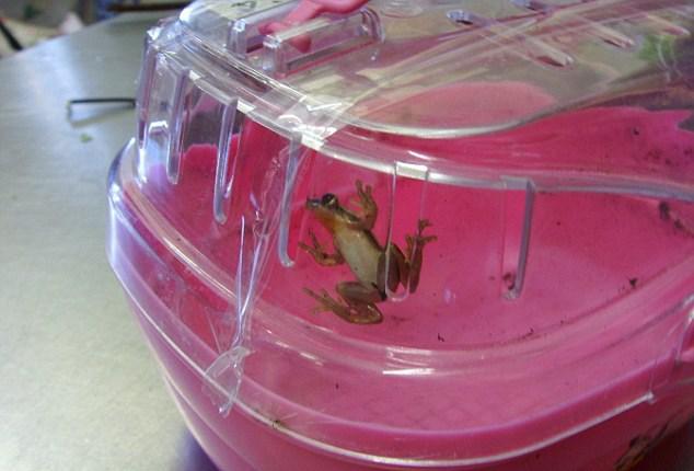 Blackpool Hayvanat Bahçesi'ndeki yuvasına gidecek olan ok kurbağası Flora güvenli bir şekilde kutusunda