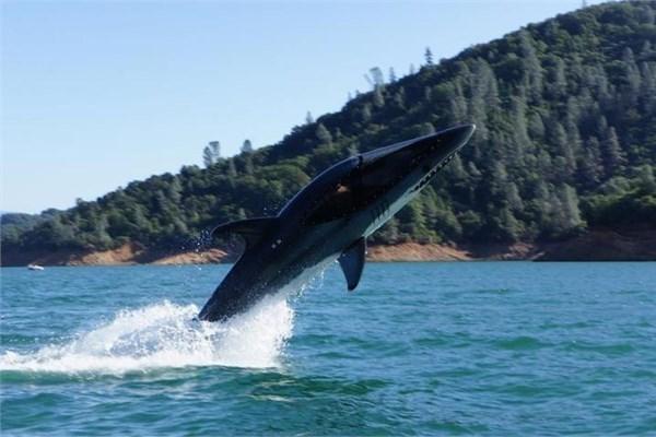 Büyük beyaz köpekbalığı botu